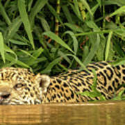 Jaguar Approaches Cayman Poster