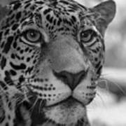 Jaguar In Black And White Poster