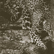 Jaguar On The Prowl Poster