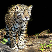 Jaguar Stare Poster