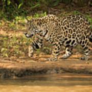 Jaguar Walking Beside River In Dappled Sunlight Poster
