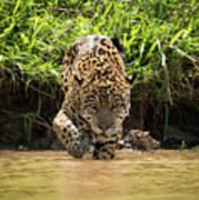 Jaguar Walking Through Muddy Shallows Towards Camera Poster