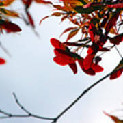 Japanese Maple 1589 Poster