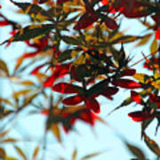 Japanese Maple 1592 Poster