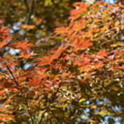 Japanese Maple Beauty Poster