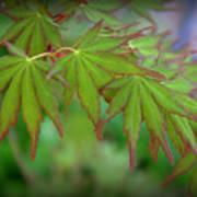 Japanese Maple Foliage Poster