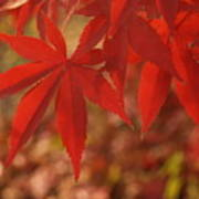 Japanese Maple In Afternoon Poster