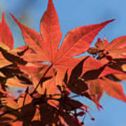 Japanese Maple In Sunlight Poster