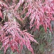 Japanese Maple In The Rain Poster