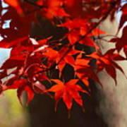 Japanese Maple Leaves Poster