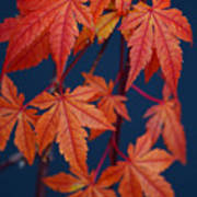 Japanese Maple Leaves In Autumn Poster