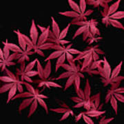 Japanese Maple Leaves Poster