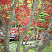 Japanese Maple Tree And Pond Poster