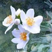 Jasmin Flower Poster
