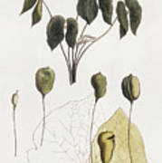 Jeffersonia Diphylla Poster