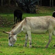 Jerusalem Donkey Grazing In A Field Poster
