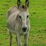 Jerusalem Donkey On A Farm Poster