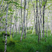 Jesup Path Birches Poster