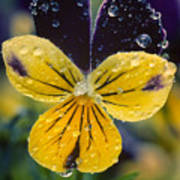 Jewelled Pansy Poster