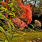 Joe-pye-weed Near Schroon River In New York Poster