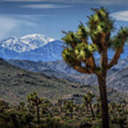 Joshua Tree In Joshua Park National Park With The Little San Bernardino Mountains In The Background Poster