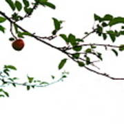 Juicy   A Tempting Photograph Of A Tasty Ripe Red Apple On A Tree  Poster