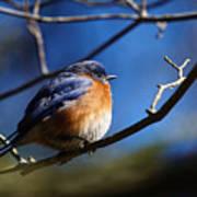 Juicy Male Eastern Bluebird Poster