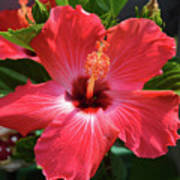 June Morning Hibiscus Poster