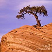 Juniper On Sandstone Poster