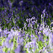 Just Bluebells  Poster