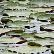 Just Lily Pads Poster