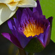 Just Opening Purple Waterlily -  Square Poster
