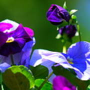 Just Pansy Poster