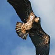 Juvenile Bald Eagle Two Poster