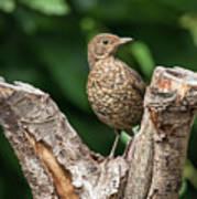 Juvenile Black Bird Turdus Merula Fledgling In Tree Stump In For Poster