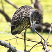 Juvenile Black Crowned Night Heron Poster
