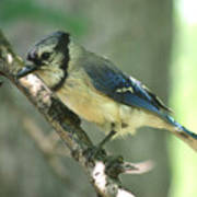 Juvenile Blue Jay Poster