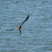 Juvenile Eagle Fishing Pickwick Lake Tennessee 031620161330 Poster