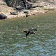 Juvenile Eagle Going Fishing Pickwick Lake Tennessee 031620161304 Poster