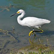 Juvenile Egret Poster