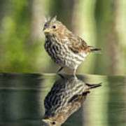 Juvenile House Sparrow 0689 Poster