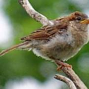 Juvenile House Sparrow Poster