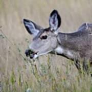 Juvenile Mule Deer Feeding Poster