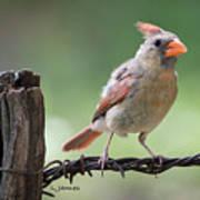 Juvenile Northern Cardinal Poster