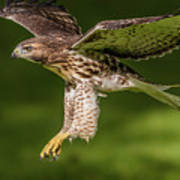 Juvenile Red-Tailed Hawk Flying Poster
