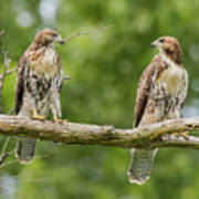 Juvenile Red-tailed Hawks Eyeing Each Other Poster