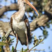 Juvenile White Ibis Poster