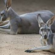Kangaroo Relaxing On Ground In The Sun Poster