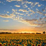 Kansas Sunflowers At Sunset Poster