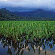 Kauai Taro Field Poster